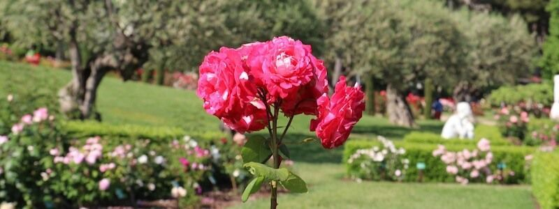 The International New Rose Competition