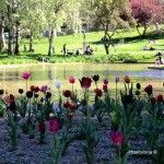 tulips and pond of garden