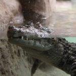 crocodile Barcelona zoo