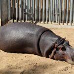 hippopotamus Barcelona zoo