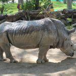 rhinoceros Barcelona zoo